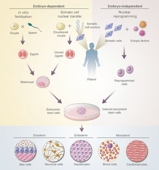 Stem cell therapy diagram read more therapy diagram stem cell ccuart Images