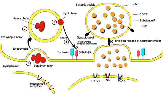 streptozotocin mechanism of action pdf